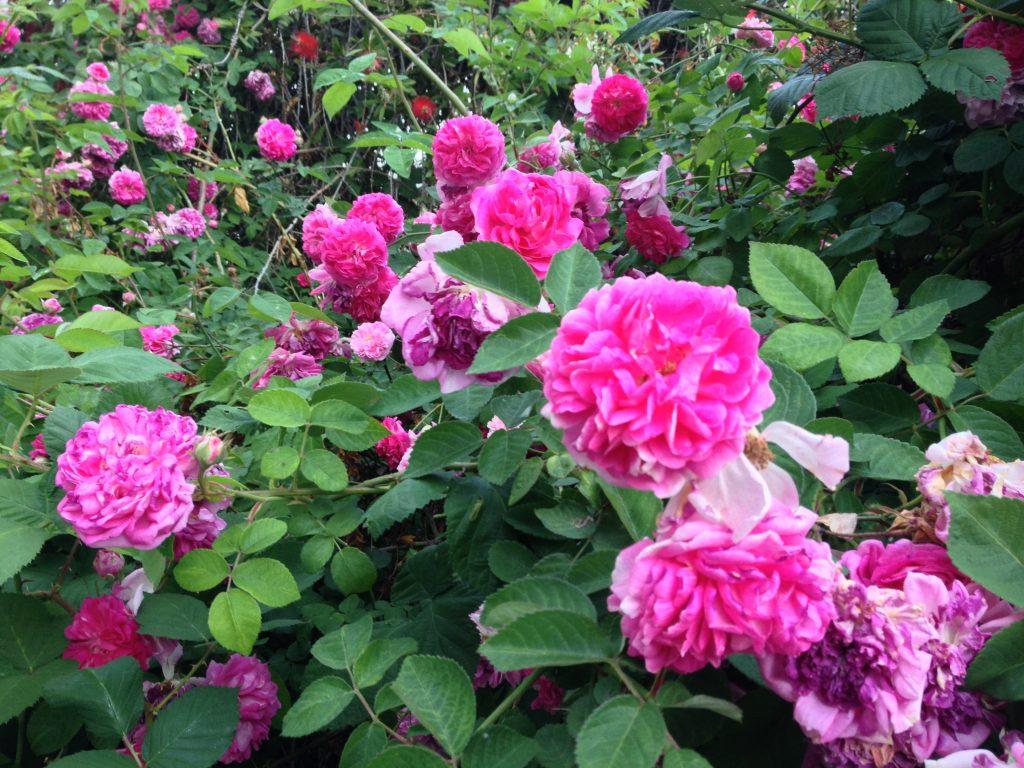 Gloire de Guilan – Damask Rose